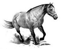 Reprezentare anatomică de cal în picioare desen în creion cai