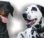 reprezentare a doi câini sau mai mulți impreună
